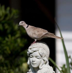 Eurasian Collarded Dove IMG_4041 rev 1