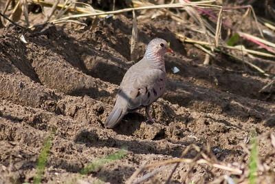 Common Ground Dove IMG_0061
