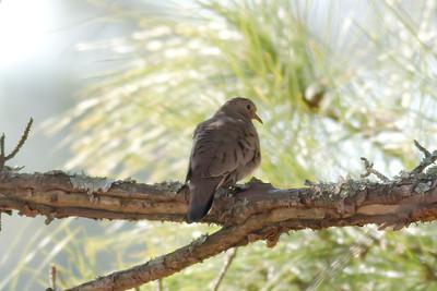 Common Ground Dove IMG_5630