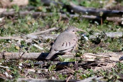 Common Ground Dove IMG_5444 rev 1
