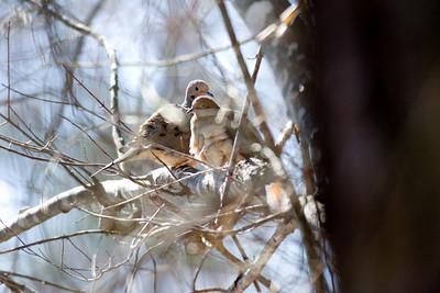 Mourning Doves IMG_2155 rev 1