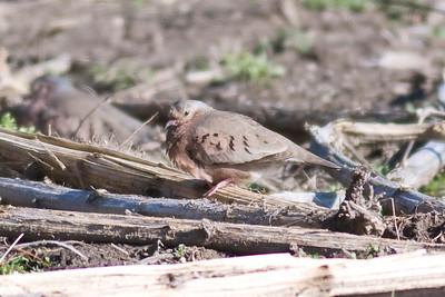 Common Ground Dove IMG_5440 rev 2