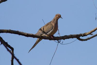 Mourning Dove IMG_2197