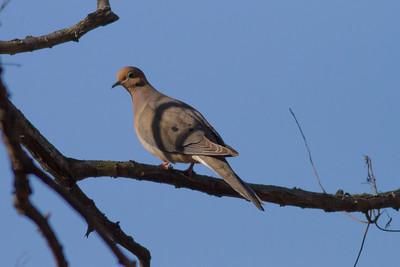 Mourning Dove IMG_2195