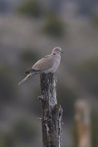 Eurasian Collared-Dove IMG_1630