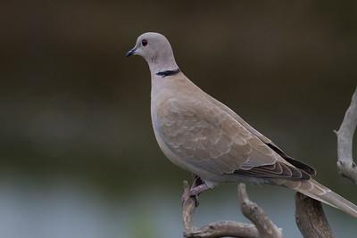 Eurasian Collared-Dove IMG_7258