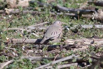 Common Ground Dove IMG_5445 rev 1