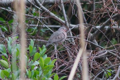 Common Ground Dove IMG_1006