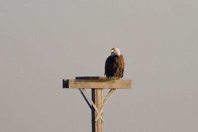 Bald Eagle IMG_0220