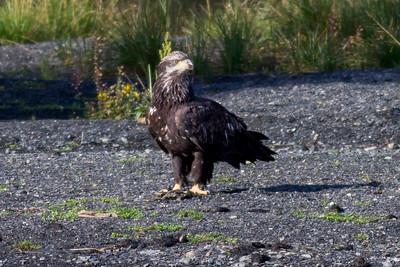 Bald Eagle IMG_1396