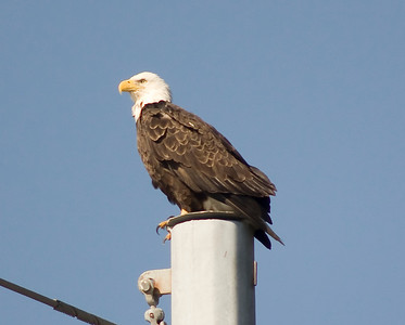 Bald Eagle IMG_272