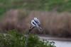 White-tailed Kites IMG_7428