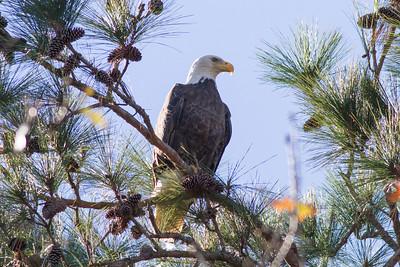 Bald Eagle IMG_6359