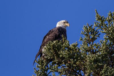 Bald Eagle IMG_1173