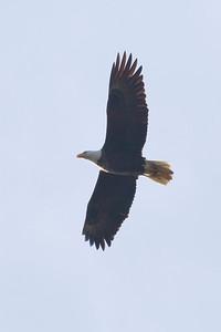 Bald Eagle IMG_0852