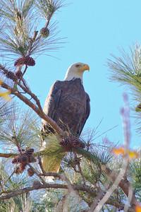 Bald Eagle IMG_6365