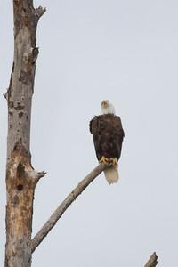 Bald Eagle IMG_4603