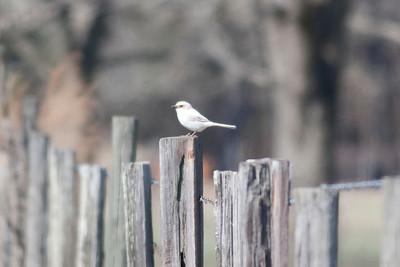 Loggerhead Shrike IMG_5841