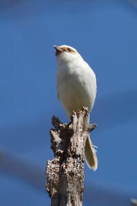 Loggerhead Shrike IMG_9184 rev 1