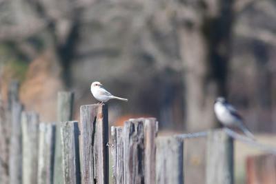 Loggerhead Shrike IMG_5845