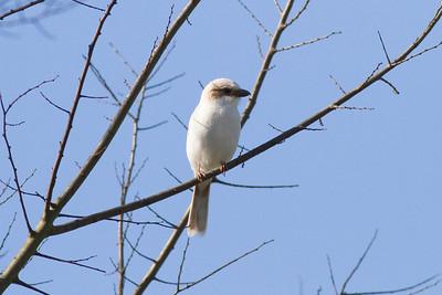 Loggerhead Shrike IMG_9133