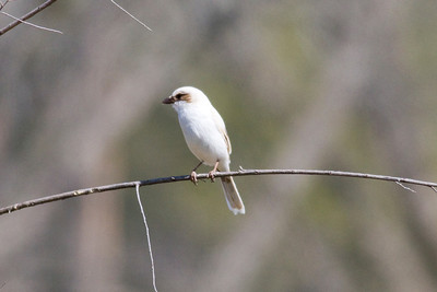 Loggerhead Shrike IMG_9190