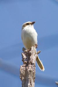 Loggerhead Shrike IMG_9183