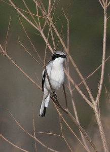 Loggerhead Shrike IMG_1883  rev 1
