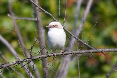 Loggerhead Shrike IMG_5867