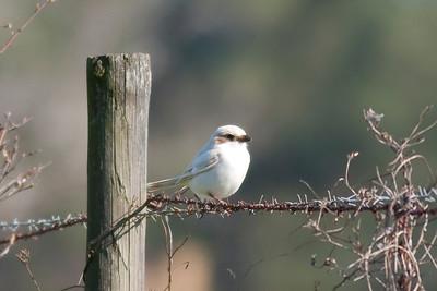 Loggerhead Shrike IMG_5857