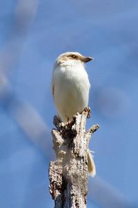 Loggerhead Shrike IMG_9180