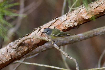 Blue-headed Vireo IMG_0982