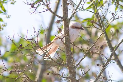 Loggerhead Shrike IMG_9126