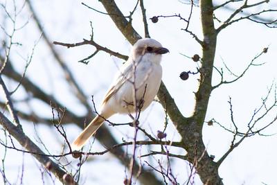 Loggerhead Shrike IMG_9124