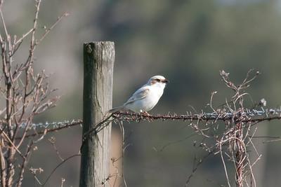 Loggerhead Shrike IMG_5851
