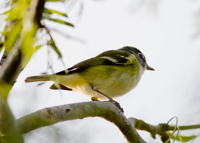 Blue-headed  Vireo IMG_7138