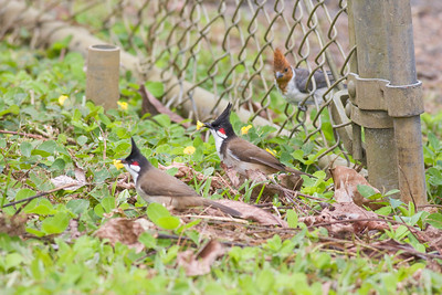 Red-whiskered Bulbul IMG_2470 rev 1