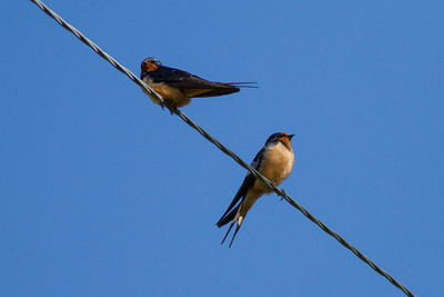 Barn Swallow IMG_6014