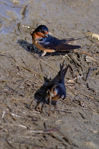 Barn Swallow IMG_0447