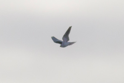 Cave Swallow  IMG_6979
