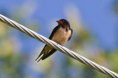 Barn Swallow IMG_9983