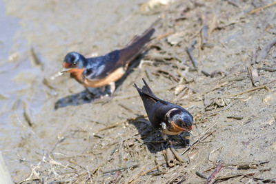 Barn Swallow IMG_0446