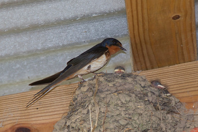 Barn Swallow IMG_1701LR