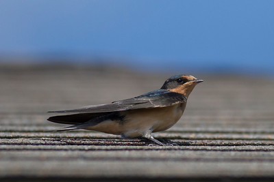 Barn Swallow IMG_9602