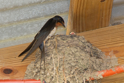 Barn Swallow IMG_1697LR