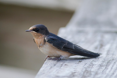 Barn Swallow IMG_9597