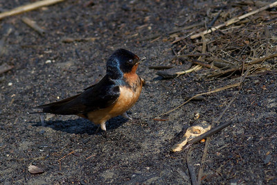 Barn Swallow IMG_0442