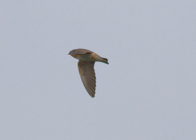 Cave Swallow IMG_7042