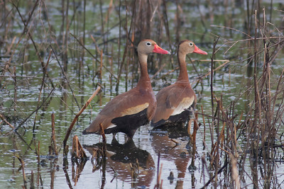 Black-bellied Whistling Duck  IMG_1990