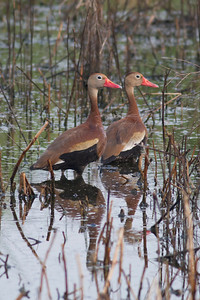 Black-bellied Whistling Duck  IMG_1991